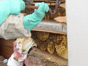 Cut out of bee colonies is not a free service